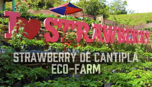 セブ島にあるイチゴ農園『ストロベリー デ カンティプラ エコファーム(Strawberry de Cantipla Eco-Farm)』※動画有り